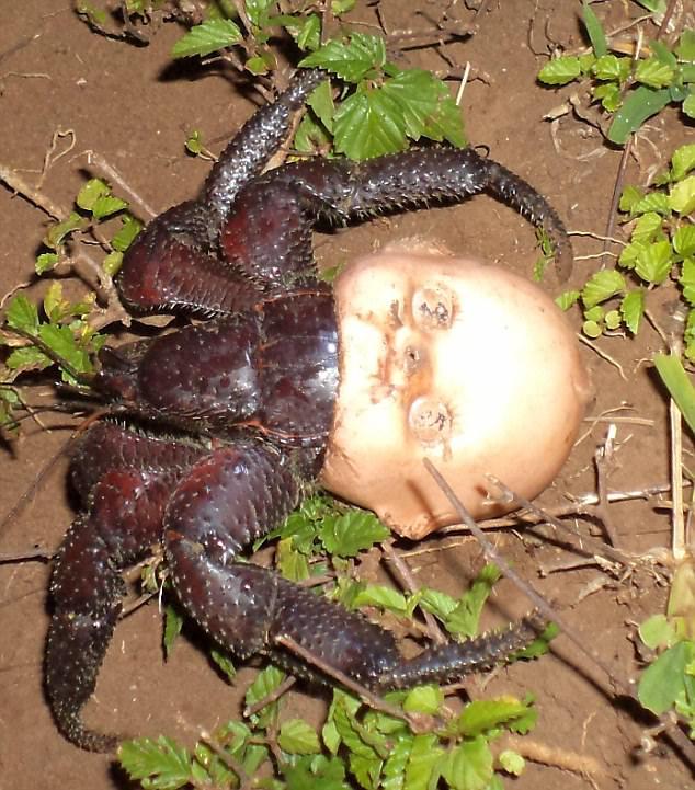 Descubren a cangrejo ermitaño usando una cabeza de muñeca como casa