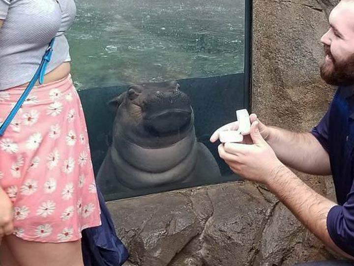 Hipopótamo bebé es testigo de una propuesta de matrimonio