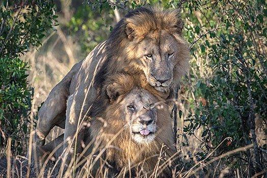 En Kenia culpa al turismo gay por comportamiento homosexual de leones