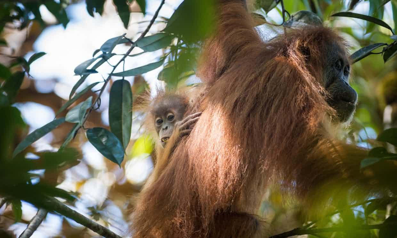 Descubren nueva especie de orangután en Indonesia