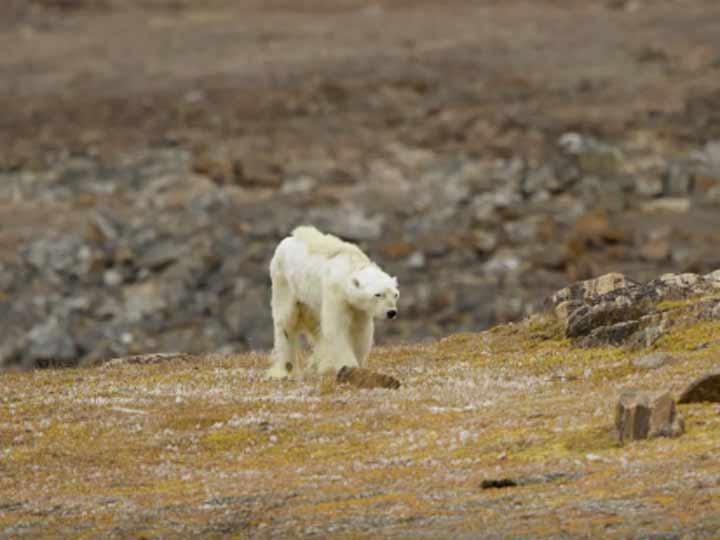 Oso polar moribundo por calentamiento global — Desgarradoras imágenes