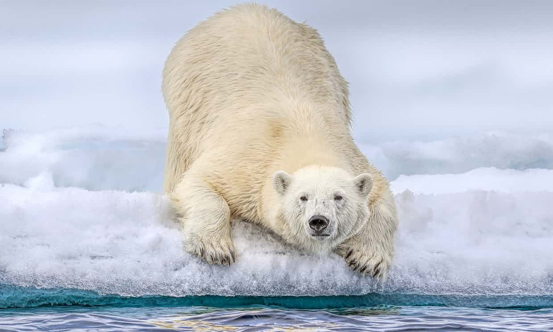 Alertan que osos polares podrían extinguirse antes de lo previsto