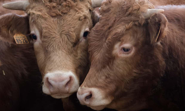 La vaca, ¿el mamífero más grande de nuestro planeta — Vaticinio científico