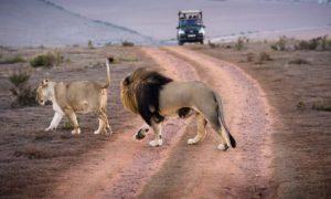 leones furtivos