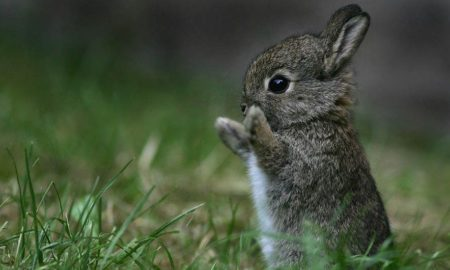 conejo, extinción, México