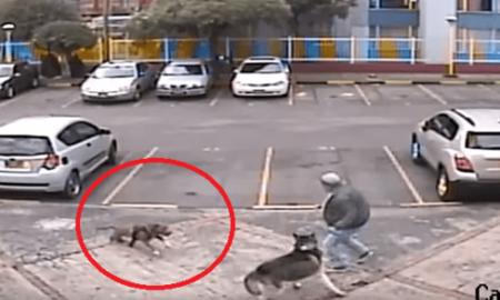 pitbull, ataque, husky