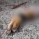 perros, mutilados, Querétaro