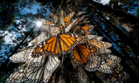 mariposa monarca, biosfera, medio ambiente, naciona, méxico