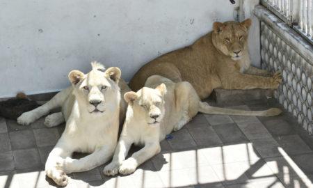 leones, decomisan
