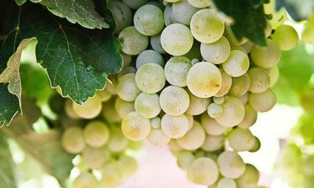 uvas, microondas