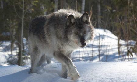 Medio ambiente, lobos, alces