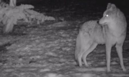coyotes, ataques, san diego, perros, animales salvajes