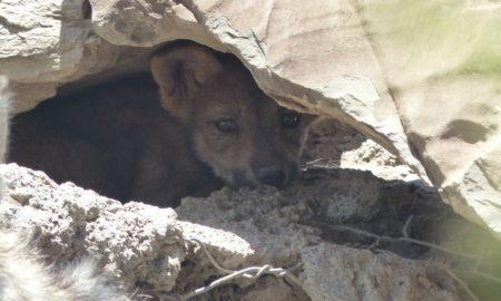 lobos, lobo mexicano, peligro de extinción, lobo gris, coahuila