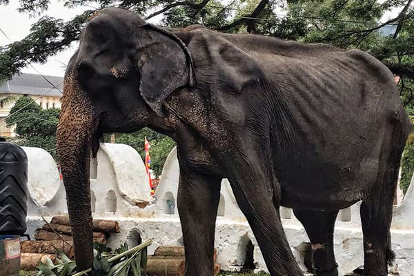 elefante, abuso, animal, sri lanka, fotografías