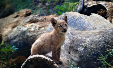 lince, animales, nacimiento, conservación, peligro de extinción, españa