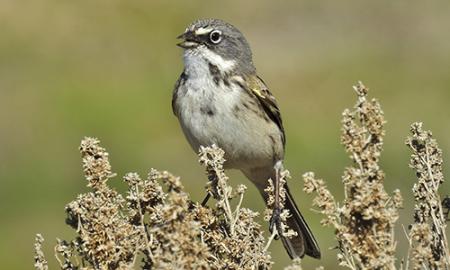 aves, animales, peligro de extinción, EEUU, Canadá