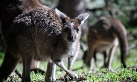 abuso animal, Australia, canguros, animales