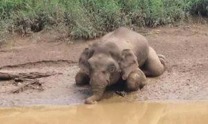 elefante, peligro de extinción, Malasia, cadáver, abuso animal