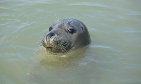 focas, río Támesis, Inglaterra
