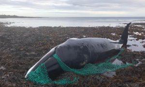 ballena, peligro de exintición, Escocia, abuso animal