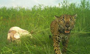 jaguar tortuga