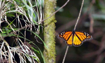 tala ilegal monarca