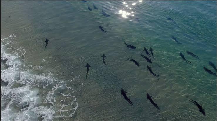 tiburones leopardo, animales, San Diego, costas, La Jolla, video