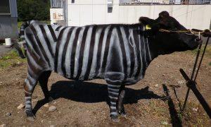 vacas cebra