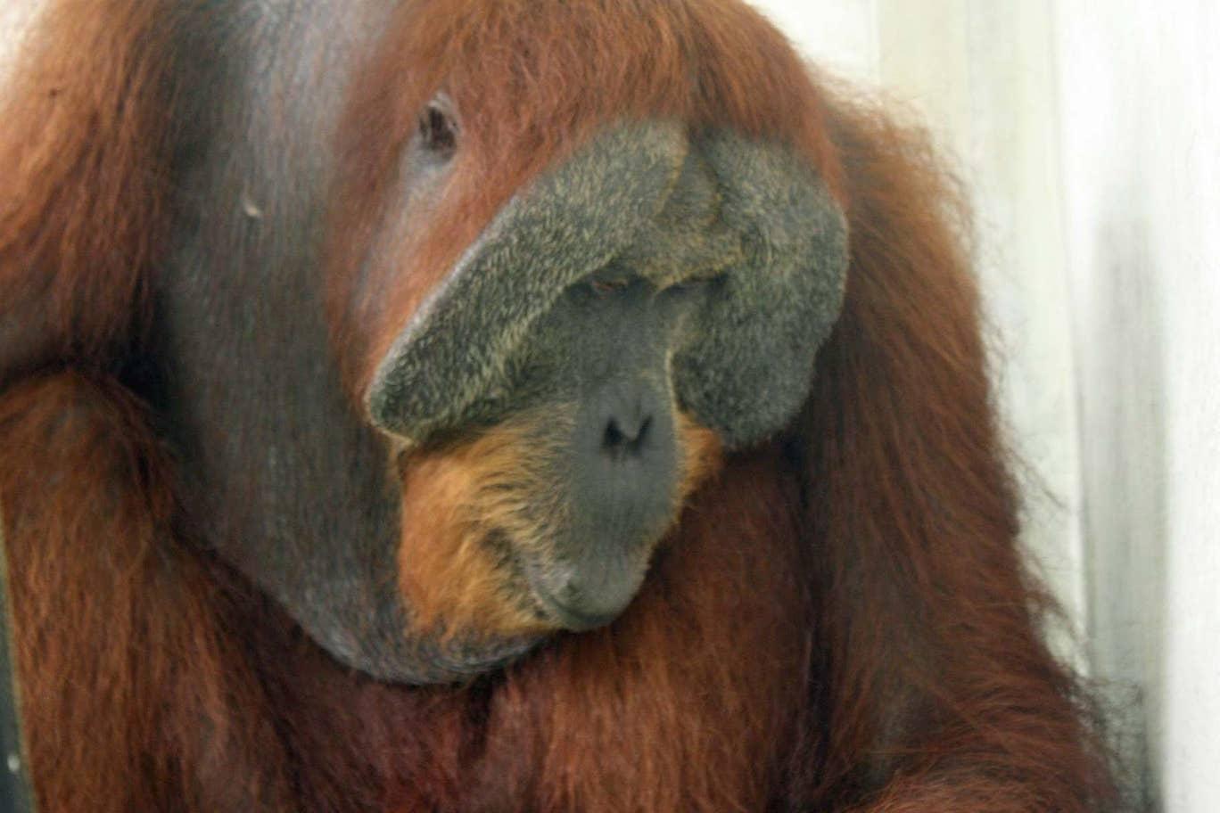 orangután, Sumatra, peligro de extinción, cazadores, arma de fuego
