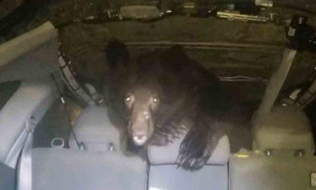 se encuentra oso en vehículo