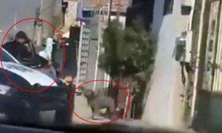 Tijuana, policía, pit bull, perro