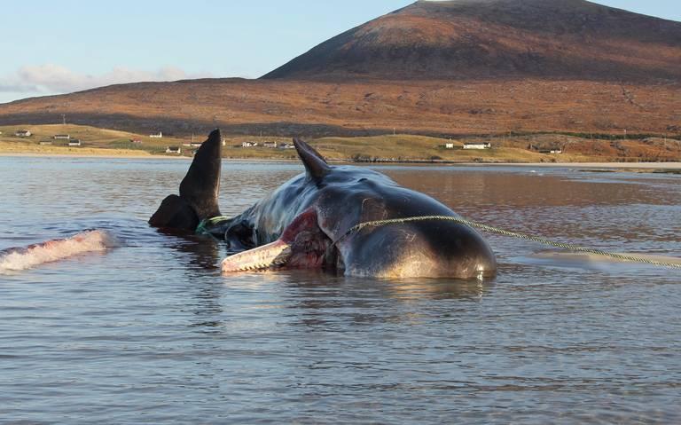 encuentran ballena muerta