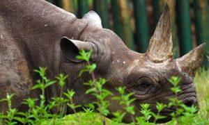 rinoceronte negro, peligo de extinción