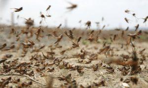 insectos, langosta, África, alimento