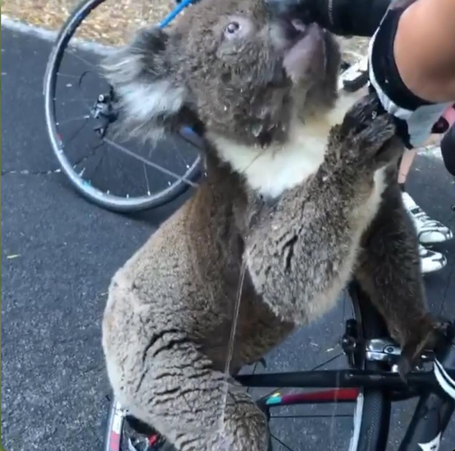koala, cliclista, agua