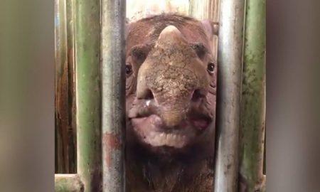 rinoceronte, Sumatra, animales, peligro de extinción, Malasia