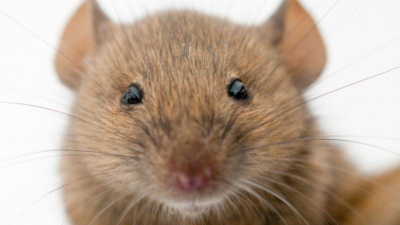 ratón, billetes, video, viral, Franja de Gaza