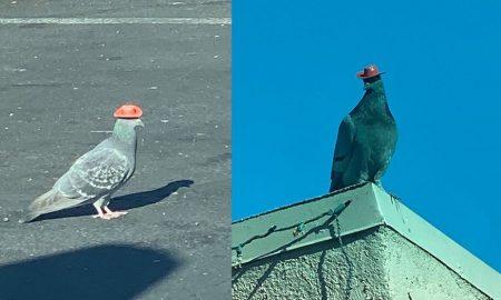 palomas, sombreros, Las Vegas, EEUU, viral