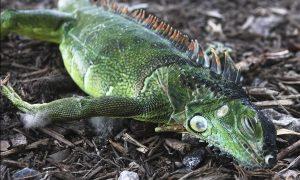 florida iguanas