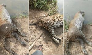 leopardo autoridades India mutilado