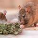 ratas, marihuana, viral, droga