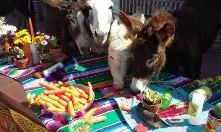burro, santuario, burrolandia, México, extinción,
