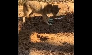 coyote, regalo, video, viral