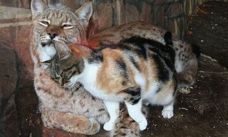 felinos, mascota, lince, zoológico, actualidad, lo viral, video, Rusia