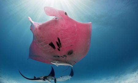 mantarraya, animal marino, océano, Australia, fotografía, Kristian Laine, internacional, hábitat