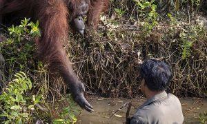 orangután, actualidad, ayuda, humanidad, Borneo, conservación del hábitad