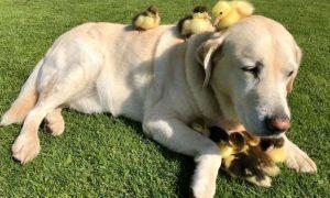perro, adopta, pollos, viral,