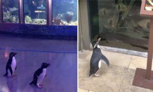 pingüinos, coronavirus, covid-19, acuario, pandemia, Chicago, EEUU, actualidad