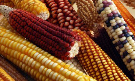 maíz, México, nacional, Senado, ley, maíz nativo, alimento, cosecha