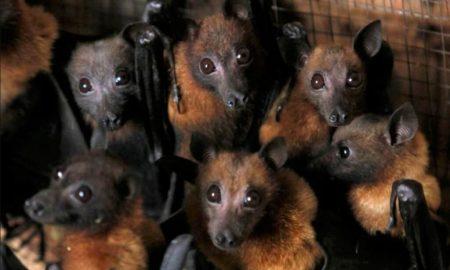 murciélagos, especies, hábitat, Perú, Andes, internacional, medio ambiente